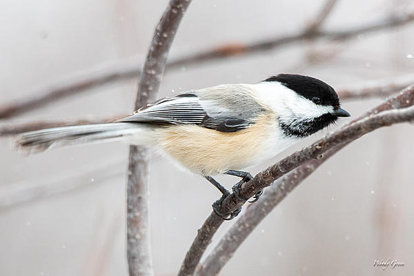 Woody's Wildlife, Nature and Other Stuff 2019-chickadee-400.jpg