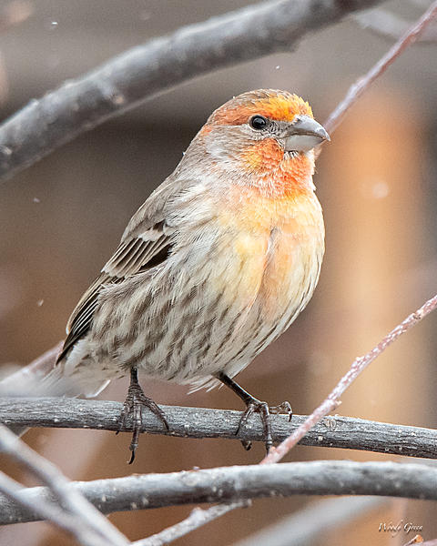 Woody's Wildlife, Nature and Other Stuff 2019-housefinch-402.jpg