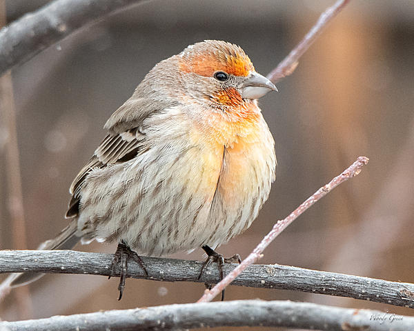 Woody's Wildlife, Nature and Other Stuff 2019-housefinch-403.jpg