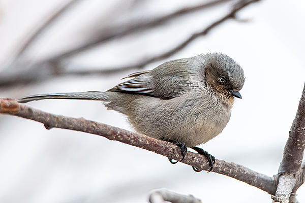 Woody's Wildlife, Nature and Other Stuff 2019-bushtit-400.jpg