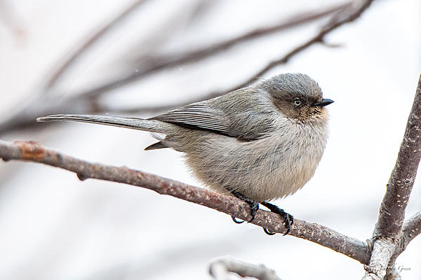 Woody's Wildlife, Nature and Other Stuff 2019-bushtit-401.jpg