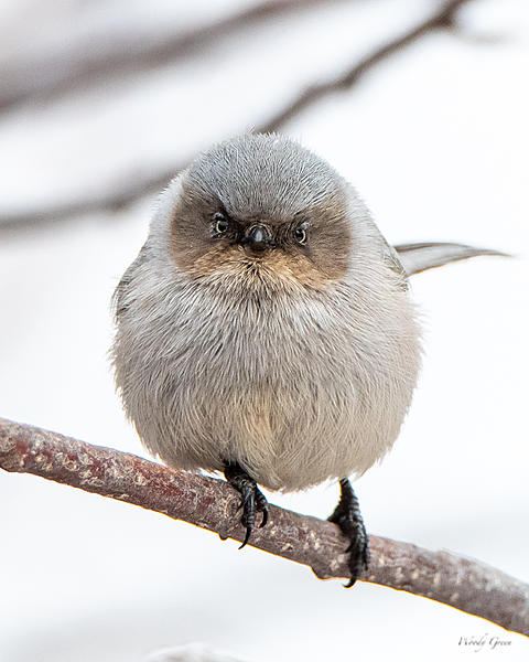 Woody's Wildlife, Nature and Other Stuff 2019-bushtit-402.jpg