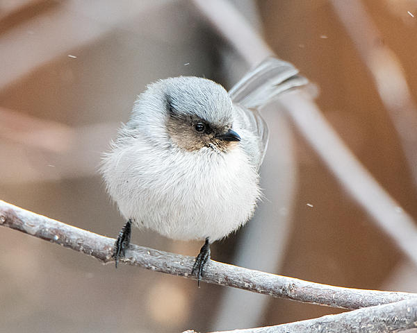 Woody's Wildlife, Nature and Other Stuff 2019-bushtit-403.jpg