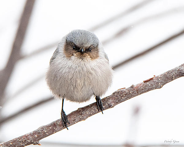 Woody's Wildlife, Nature and Other Stuff 2019-bushtit-405.jpg
