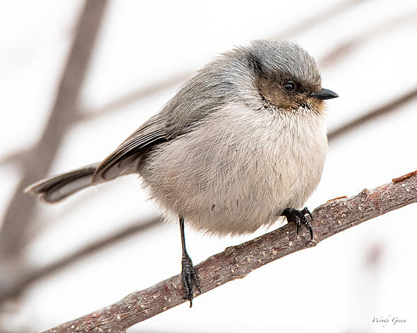 Woody's Wildlife, Nature and Other Stuff 2019-bushtit-406.jpg