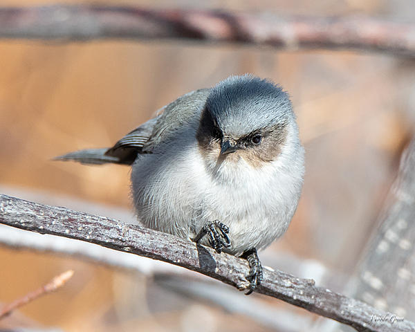Woody's Wildlife, Nature and Other Stuff 2019-bushtit-410.jpg