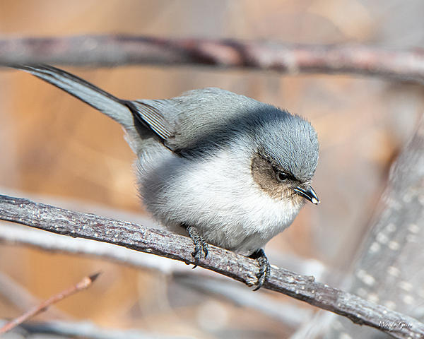 Woody's Wildlife, Nature and Other Stuff 2019-bushtit-411.jpg