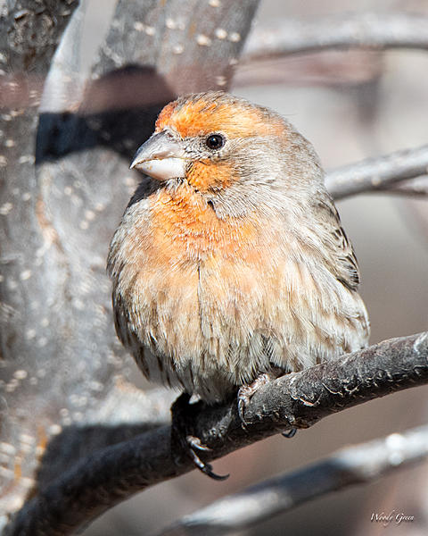 Woody's Wildlife, Nature and Other Stuff 2019-housefinch-413.jpg