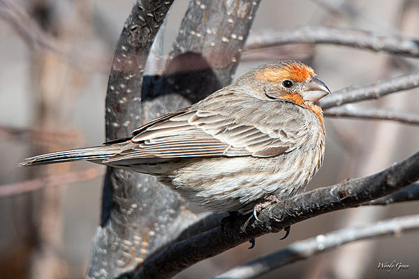 Woody's Wildlife, Nature and Other Stuff 2019-housefinch-414.jpg