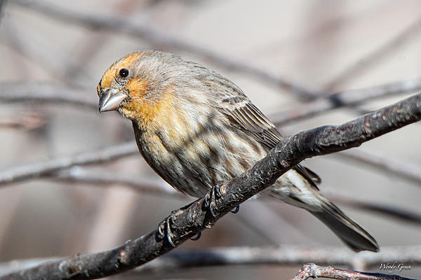 Woody's Wildlife, Nature and Other Stuff 2019-housefinch-415.jpg