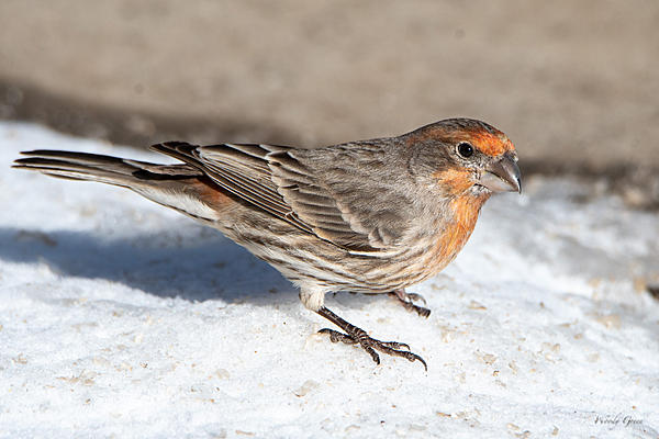 Woody's Wildlife, Nature and Other Stuff 2019-housefinch-416.jpg