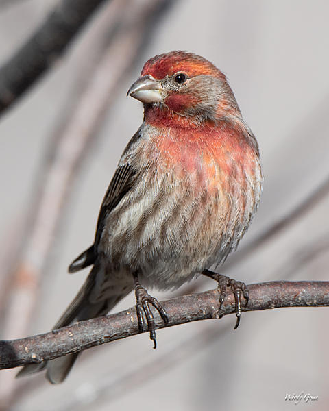 Woody's Wildlife, Nature and Other Stuff 2019-housefinch-417.jpg