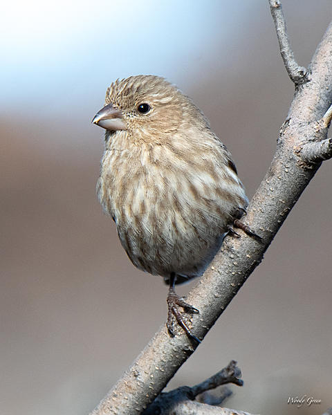 Woody's Wildlife, Nature and Other Stuff 2019-housefinch-418.jpg