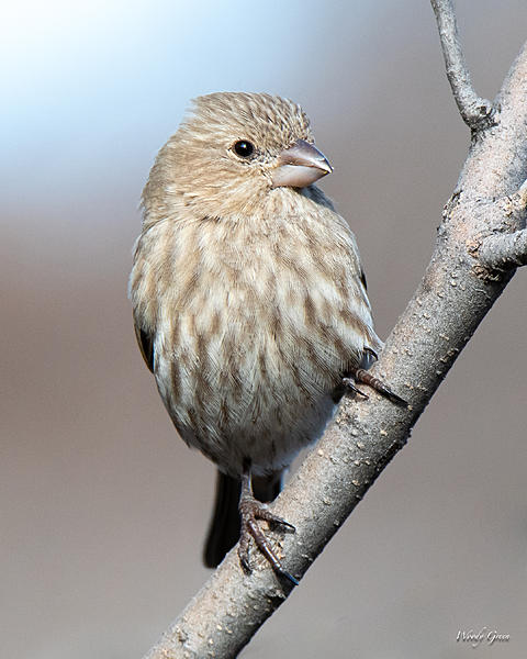 Woody's Wildlife, Nature and Other Stuff 2019-housefinch-419.jpg