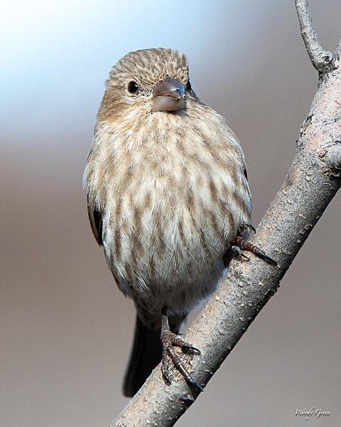 Woody's Wildlife, Nature and Other Stuff 2019-housefinch-420.jpg