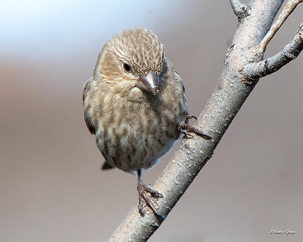 Woody's Wildlife, Nature and Other Stuff 2019-housefinch-421.jpg