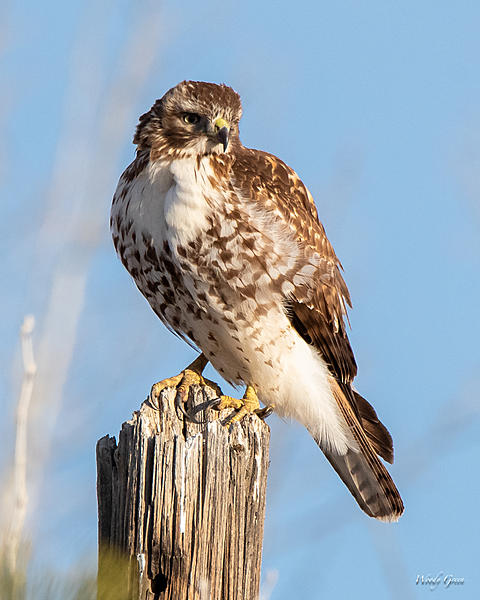Woody's Wildlife, Nature and Other Stuff 2019-redtail-415.jpg