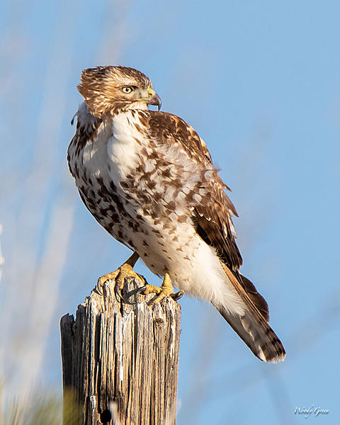 Woody's Wildlife, Nature and Other Stuff 2019-redtail-416.jpg