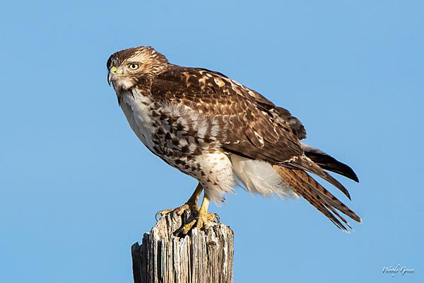 Woody's Wildlife, Nature and Other Stuff 2019-redtail-417.jpg