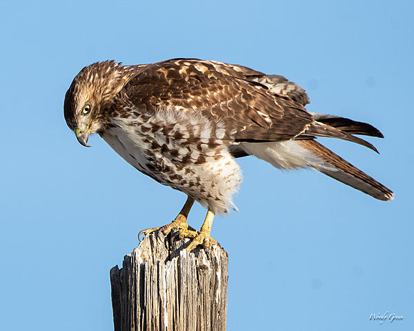 Woody's Wildlife, Nature and Other Stuff 2019-redtail-418.jpg