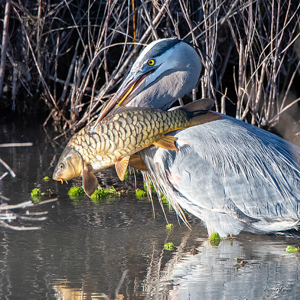 Woody's Wildlife, Nature and Other Stuff 2019-gbhfish-400.jpg
