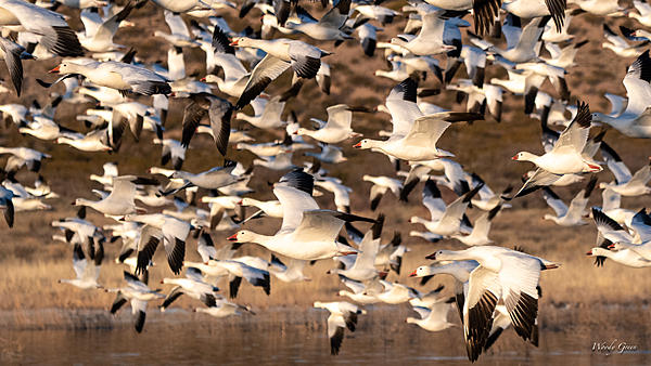 Woody's Wildlife, Nature and Other Stuff 2019-snowgeese-400.jpg