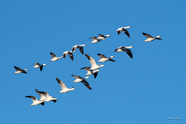 Woody's Wildlife, Nature and Other Stuff 2019-snowgeese-401.jpg