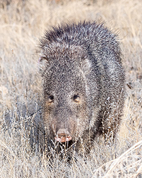 Woody's Wildlife, Nature and Other Stuff 2019-javalina-402.jpg