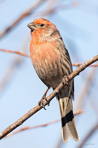 Woody's Wildlife, Nature and Other Stuff 2019-housefinch-433.jpg