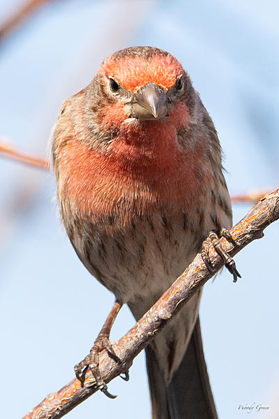 Woody's Wildlife, Nature and Other Stuff 2019-housefinch-434.jpg