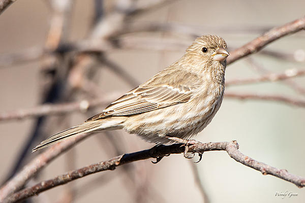 Woody's Wildlife, Nature and Other Stuff 2019-housefinch-437.jpg
