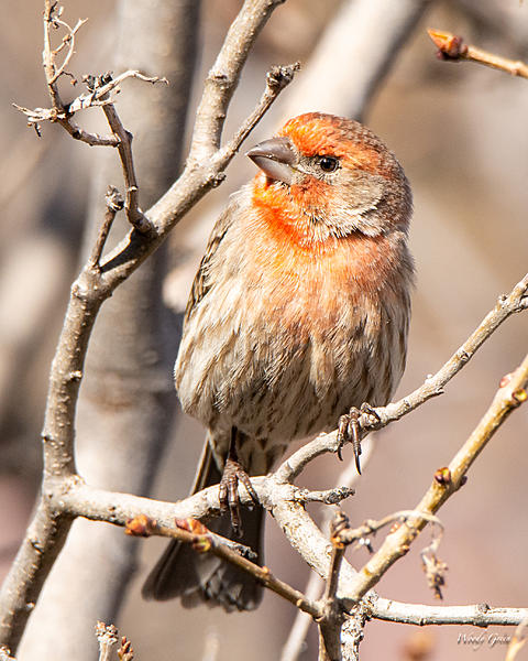 Woody's Wildlife, Nature and Other Stuff 2019-housefinch-438.jpg