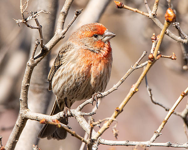 Woody's Wildlife, Nature and Other Stuff 2019-housefinch-439.jpg