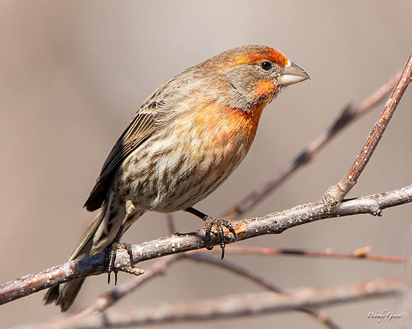 Woody's Wildlife, Nature and Other Stuff 2019-housefinch-440.jpg