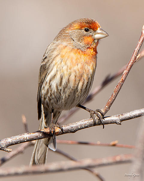 Woody's Wildlife, Nature and Other Stuff 2019-housefinch-441.jpg