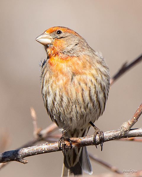 Woody's Wildlife, Nature and Other Stuff 2019-housefinch-442.jpg