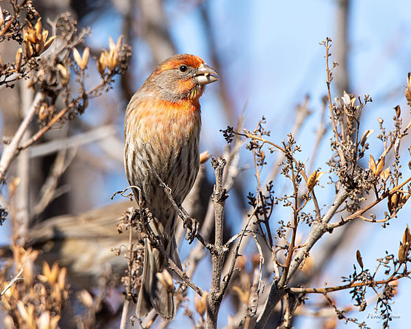 Woody's Wildlife, Nature and Other Stuff 2019-housefinch-443.jpg