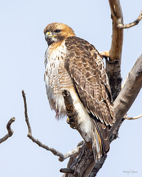 Woody's Wildlife, Nature and Other Stuff 2019-redtail-431.jpg