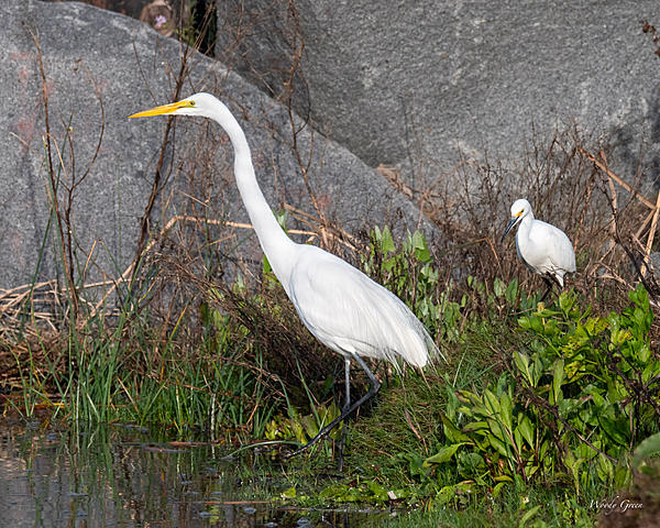 Woody's Wildlife, Nature and Other Stuff 2019-great-snowy-400.jpg