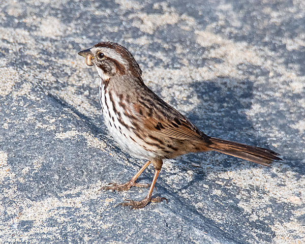 Woody's Wildlife, Nature and Other Stuff 2019-songsparrow-400.jpg