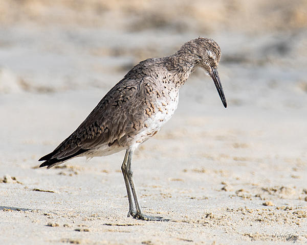 Woody's Wildlife, Nature and Other Stuff 2019-willet-400.jpg