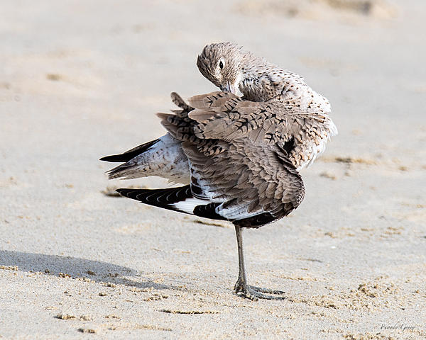 Woody's Wildlife, Nature and Other Stuff 2019-willet-402.jpg