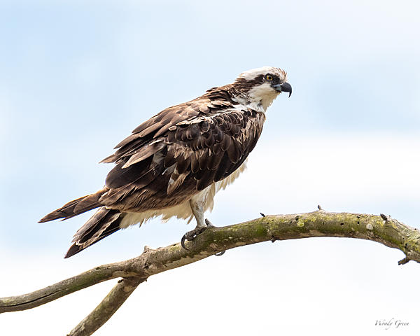 Woody's Wildlife, Nature and Other Stuff 2019-osprey-400.jpg