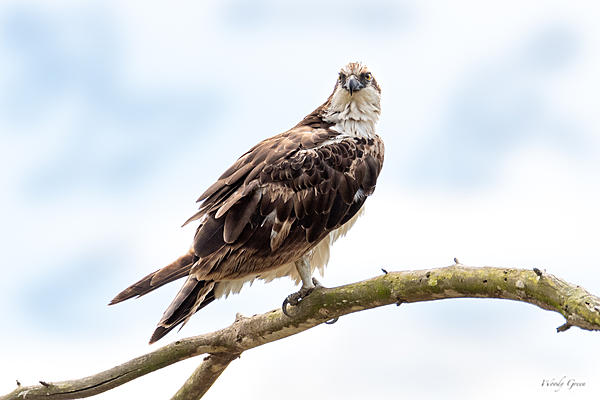 Woody's Wildlife, Nature and Other Stuff 2019-osprey-401.jpg