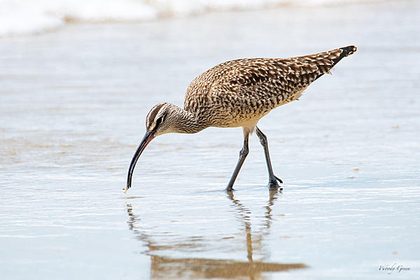Woody's Wildlife, Nature and Other Stuff 2019-whimbrel-400.jpg