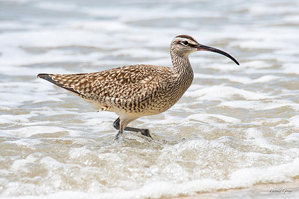 Woody's Wildlife, Nature and Other Stuff 2019-whimbrel-401.jpg
