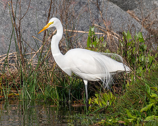Woody's Wildlife, Nature and Other Stuff 2019-greategret-400.jpg