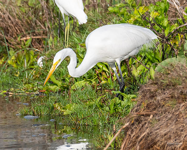 Woody's Wildlife, Nature and Other Stuff 2019-greategret-402.jpg