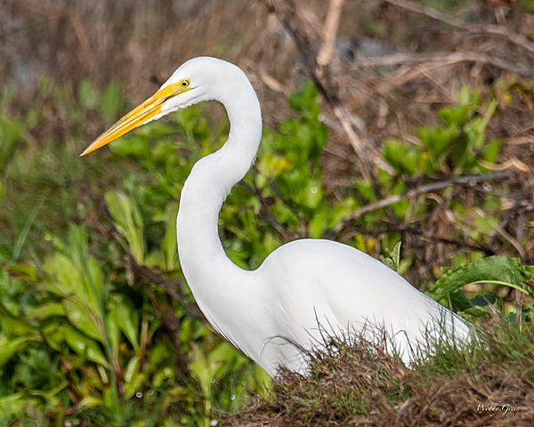 Woody's Wildlife, Nature and Other Stuff 2019-greategret-403.jpg