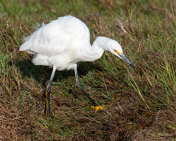 Woody's Wildlife, Nature and Other Stuff 2019-snowyegret-410.jpg